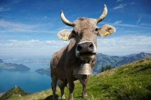 Swiss-Cow-Fiona_main